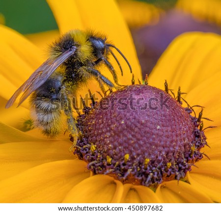 Bee sitting on flower of Rudbeckia, commonly called coneflowers and black-eyed-susans