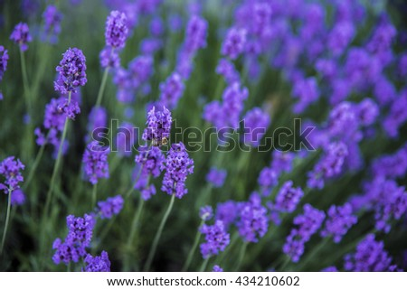 Bee sitting on lavender