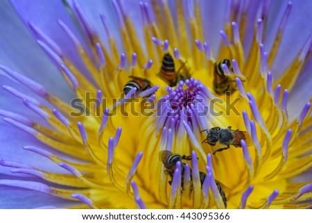 bee with pollen lotus - stock photo