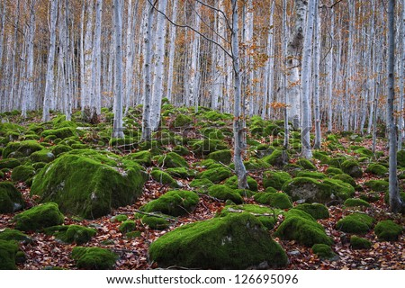 beech forest between rocks with moss in autumn, Aran Valley, Spain. - stock photo