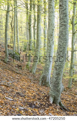 beech forest in autumn, Moncayo natural park, saragossa, Aragon, Spain