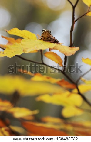 Beech forest in autumn with  frog