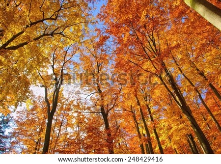 beech forest in fall  - stock photo