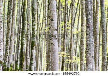 beech forest  in Irati Jungle, Pyrenees, Navarra, Spain - stock photo