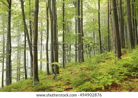 Beech forest in misty weather at the beginning of autumn.