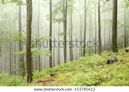 Beech forest in the fog, Poland. - stock photo