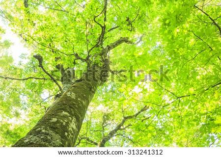 Beech forest of Shirakami-Sanchi, world Heritage, Aomori, Japan - stock photo