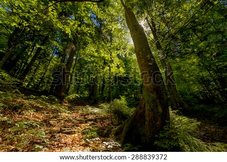 Beech forest on the Carpathian mountains. - stock photo