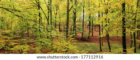 Beech forest - panorama.  - stock photo