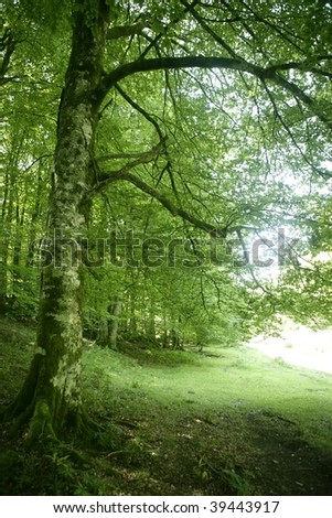 Beech green magic forest with sun reflections in Irati