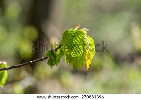 Beech leaf on a twig in the spring - stock photo