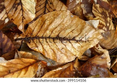 beech leaves - stock photo