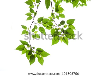 Beech leaves on white background. - stock photo