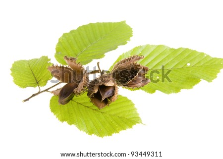 Beech nuts and leaves on white background