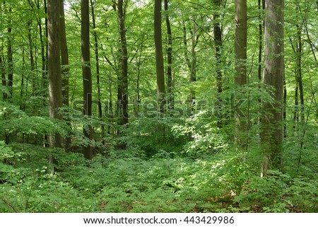 Beech tree forest in Belgium - stock photo