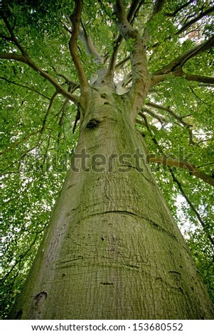 Beech tree in the forest - stock photo