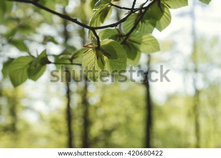beech tree leaves in spring  - stock photo