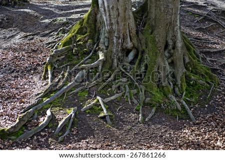 Beech tree roots closeup from a Danish forest. - stock photo