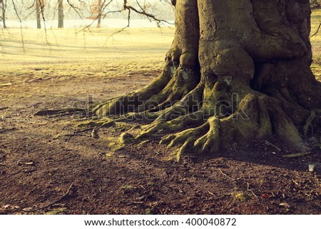 Beech Tree Roots of an Old Tree - stock photo