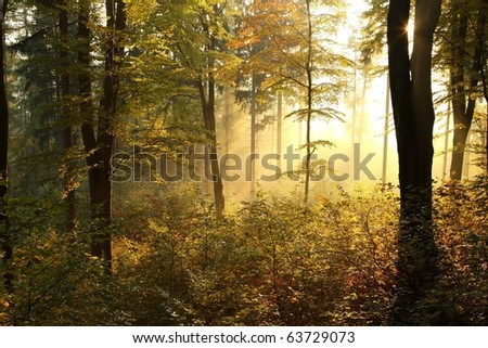 Beech trees backlit by the rising sun in the misty autumnal forest on the slope in a nature reserve. - stock photo