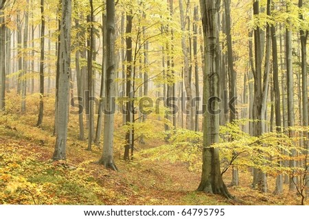 Beech trees in autumn forest on the mountain slope on a misty day. - stock photo