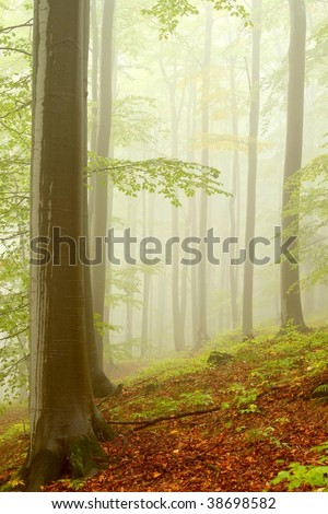 Beech trees in dense fog after rainfall. Photo taken in early autumn. - stock photo