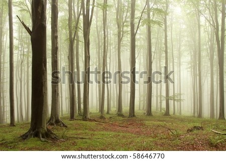 Beech trees in the forest on a mountain slope on a foggy rainy day. - stock photo