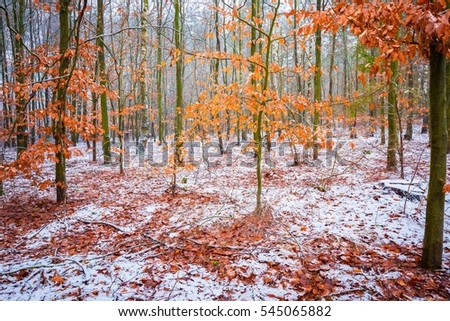 Beech trees with red leaves in winter forest landscape. European forest at bad weather in winter.