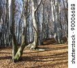 Beech woods in autumn - fall - stock photo