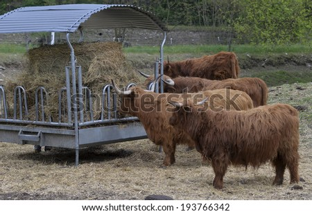 beef breed cows on the farm - stock photo