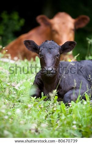 Beef Calf at Pasture - stock photo