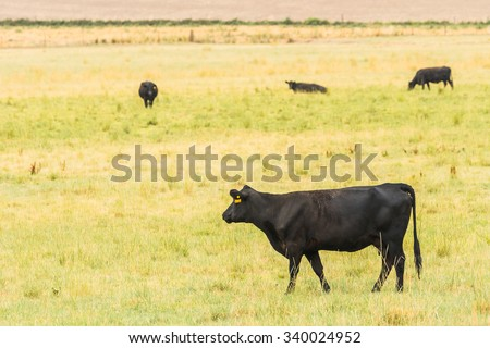 beef cattle in the  grass field in the farm,countryside,Washington,USA. - stock photo