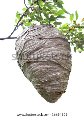 Beehive hanging over a cherry branch isolated on white - stock photo