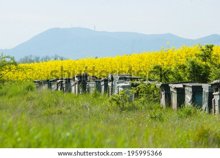 beehives at oilseed rape fields and many bee flying in the air - stock photo