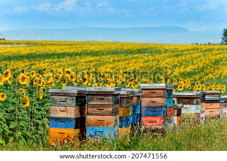 beehives in corner of sunflower field - stock photo