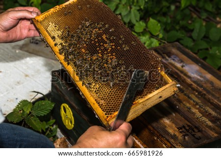 beekeeper with hive tool in the hand, checks honeycomb with bees removed from the hive