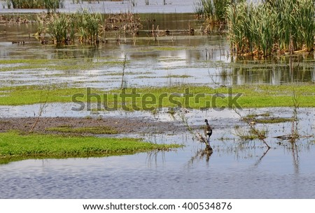 Beelier wetlands conservation area with purple swamp hen and mudflats in Bibra Lake, Western Australia/Wetlands: Purple Swamp Hen and Mudflats/Bibra Lake, Western Australia - stock photo