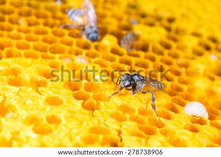 bees (Apis florea) work on honeycomb - stock photo
