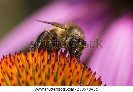 Bees collect honey from orange flowers on a pink background.