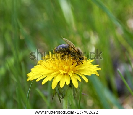 Bees collecting nectar from flower - stock photo