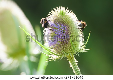 bees collecting pollen from a thistle flower - stock photo