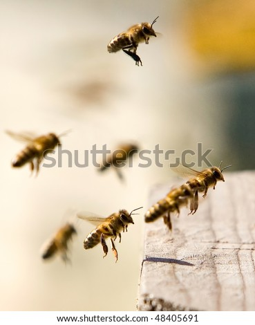 Bees full of pollen in flight, come back in a beehive - stock photo