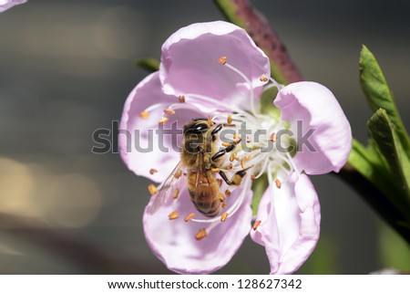 Bees gather nectar from flowers in a pink peach blossom on