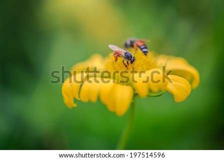 Bees help to found nectar on yellow flower on green background ,diligent every morning bees flied done work .it's hardworking animals ,skin bees black and orange - stock photo