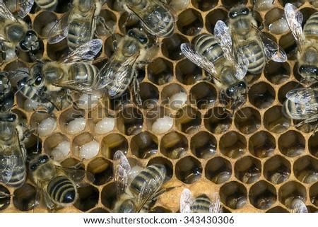 bees, honeycomb; - stock photo