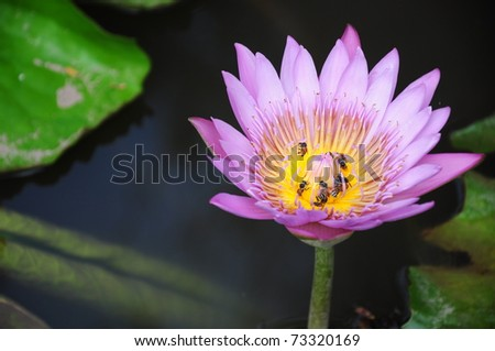 Bees in pink Lotus Flower - stock photo