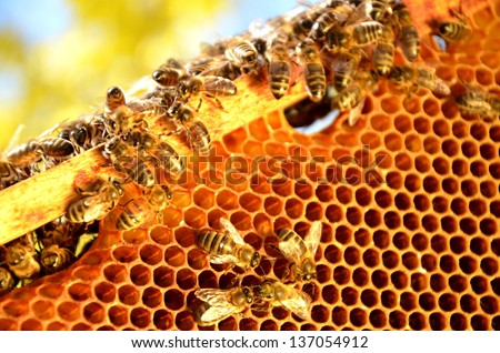 Bees on honeycomb frame in the springtime - stock photo