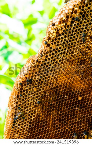 Bees on honeycomb, Thailand.