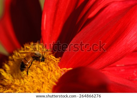 Bees on red dahlia flower, macro. - stock photo