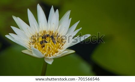 Bees pollinating on white lotus